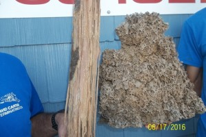 Formosan Termite Nest & Damaged Wood